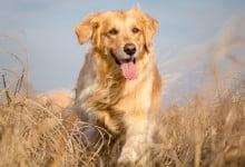Golden Retriever (Info, Kostnad, Personlighet & Sjukdomar)