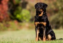 Rottweiler (Info, Kostnad, Personlighet & Sjukdomar)